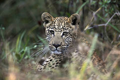 Young Leopard cub - Botswana. Young Leopard cub in the Savuti area of Botswana Royalty Free Stock Photo