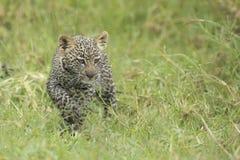 Young Leopard cub, (Panthera pardus) Tanzania. A small Leopard cub wakks through grass in Tanzania's Serengeti National Park Royalty Free Stock Image