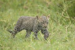 Young Leopard cub, (Panthera pardus) Tanzania. A small Leopard cub wakks through grass in Tanzania's Serengeti National Park Stock Photo