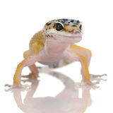 Young Leopard gecko - Eublepharis macularius Stock Photography