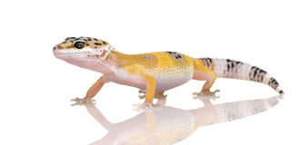 Young Leopard gecko - Eublepharis macularius Stock Image