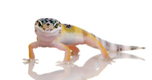 Young Leopard gecko - Eublepharis macularius Royalty Free Stock Photos