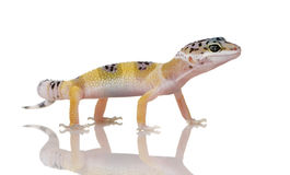 Young Leopard gecko - Eublepharis macularius. Young Leopard gecko in front of a white background Stock Photos