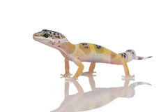 Young Leopard gecko - Eublepharis macularius Royalty Free Stock Images