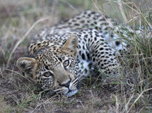 Young leopard. Stock Photography