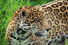 Young leopard, male Royalty Free Stock Photos
