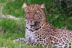 Young leopard from Nakuru. Kenya. Royalty Free Stock Photo
