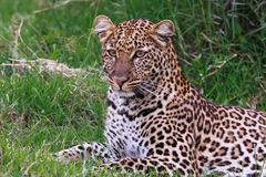 Young leopard from Nakuru lake. Kenya. Stock Images