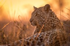 Portrait of a young leopard at sunset. stock photos