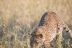 Young Leopard pouncing in the high grass. Stock Photos