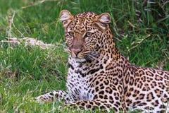 Young leopard resting. Leopard baby. Nakuru, Kenya Royalty Free Stock Image