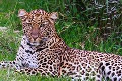 Young leopard resting in greenery. Nakuru. Stock Photos