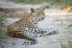 Young leopard resting in the sand royalty free stock image