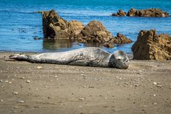 Leopard Seal At Owhiro Bay. Young Leopard seal rests on sand at owhiro beach, usually an arctic animal, this lost seal has come further north to lower north Stock Image