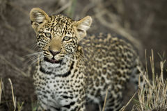 Young leopard in Serengeti, Tanzania Stock Photography