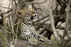 Young leopard in Serengeti, Tanzania Stock Photos