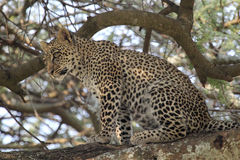 Young leopard sitting on a branch Stock Image