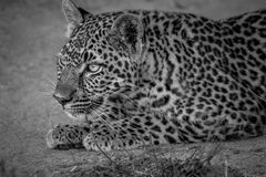 Young Leopard stalking his sister. Young Leopard stalking his sister in black and white in the Kruger National Park, South Africa Stock Photos