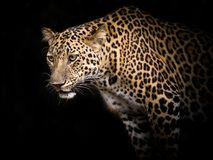 Leopard staring Victims in nature. stock photography