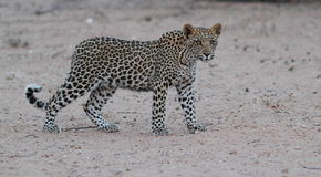 Young Leopard. Youn Leopard Cub seen in the Kgalagadi Stock Photography