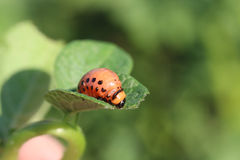 Young leptinotarsa decemlineata Royalty Free Stock Photo
