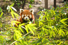 Young lesser panda Stock Images
