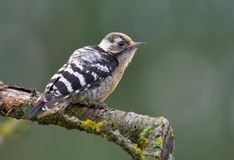 Young Lesser spotted woodpecker back view perched on small stick royalty free stock image