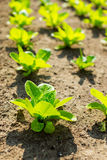 Young lettuce in field Royalty Free Stock Photography