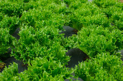 Young lettuce in the field Royalty Free Stock Image