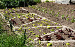 Young lettuce growing in the vegetable garden Stock Images