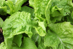 Young lettuce head Royalty Free Stock Images