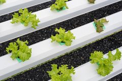 Young lettuce at hydroponic garden royalty free stock image