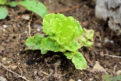 Young Lettuce or Lactuca sativa annual plant planted in local garden surrounded with wet soil and rocks. On rainy summer day stock photography