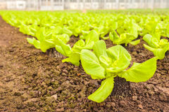 Young lettuce plants in a greenhouse Stock Images