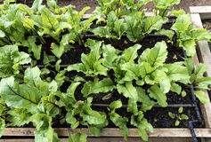Young beetroot plants. Stock Image