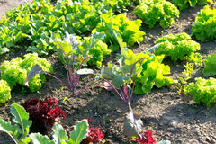 Free Young Lettuce Plants On A Vegetable Garden Patch Stock Photo - 84920070