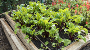 Young beetroot plants in raised vegetable garden. Royalty Free Stock Image
