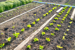 Young Lettuce Plants On A Vegetable Garden Patch Stock Photo