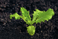 Young lettuce seedling growing on organic soil home gardening Stock Image