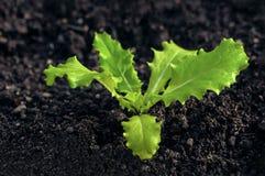 Young lettuce seedling growing on organic soil home gardening Stock Image