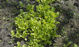 Young lettuce sprouts growing in the garden. Salad growing Stock Photos