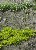 Young lettuce sprouts growing in the garden. Salad growing. Young lettuce sprouts growing in the garden. Salad growing Royalty Free Stock Image