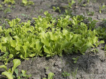 Young lettuce sprouts growing in the garden. Salad growing. In the garden Royalty Free Stock Images