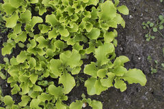 Young lettuce sprouts growing in the garden. Salad growing. Young lettuce sprouts growing in the garden. Salad growing Stock Images