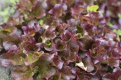 Young lettuce sprouts growing in the garden. Salad growing. Young lettuce sprouts growing in the garden. Salad growing Stock Photography
