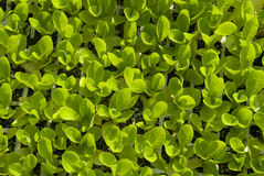Young lettuce sprouts viewed from above. Young lettuce sprouts from above Stock Image