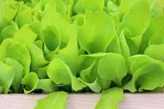 Young lettuce Stock Photos