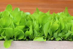 Young lettuce Royalty Free Stock Images