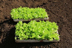 Young lettuces on farm Royalty Free Stock Images