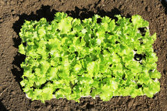 Young lettuces on farm Stock Photo